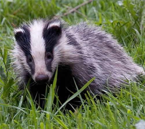 http://www.scotsdown.com/WildlifeImages/Badger.jpg